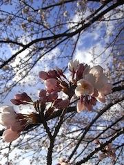 plant-cherryblossoms